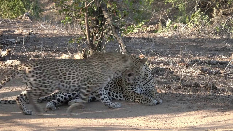 Leopard sex at Mala Mala