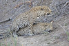 Leopard_Sex_MalaMala_2016_0063