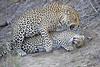 Leopard_Sex_MalaMala_2016_0067