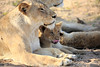 Lion_Cubs_MalaMala_2016_0061