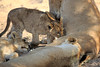 Lion_Cubs_MalaMala_2016_0045