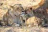 Lion_Cubs_MalaMala_2016_0004