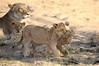 Lion_Cubs_MalaMala_2016_0040