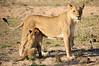 Lion_Cubs_MalaMala_2016_0009