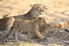 Lion_Cubs_MalaMala_2016_0039