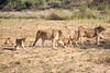 Lion_Cubs_MalaMala_2016_0020