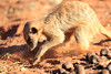 Meercat_Forage_Food_Tswalu_2016_0025