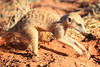 Meercat_Forage_Food_Tswalu_2016_0028