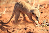 Meercat_Forage_Food_Tswalu_2016_0024