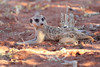 Meercat_Forage_Food_Tswalu_2016_0022