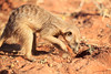 Meercat_Forage_Food_Tswalu_2016_0027