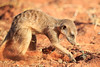 Meercat_Forage_Food_Tswalu_2016_0026
