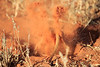 Meercat_Forage_Food_Tswalu_2016_0034