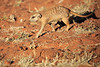 Meercat_Forage_Food_Tswalu_2016_0004