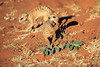 Meercat_Forage_Food_Tswalu_2016_0003