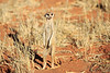 Meercat_Forage_Food_Tswalu_2016_0001