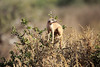 Meercat_Forage_Food_Tswalu_2016_0019
