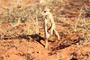 Meercat_Forage_Food_Tswalu_2016_0031