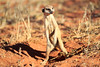 Meercat_Forage_Food_Tswalu_2016_0030