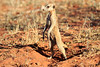 Meercat_Forage_Food_Tswalu_2016_0032