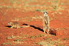 Meercat with Ground Squirrel friend