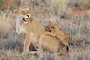 Lion_Cubs_Tswalu_2016_0034