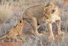 Lion_Cubs_Tswalu_2016_0042