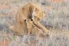 Lion_Cubs_Tswalu_2016_0039
