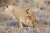 Lion_Cubs_Tswalu_2016_0025