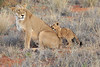 Lion_Cubs_Tswalu_2016_0030