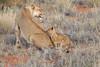 Lion_Cubs_Tswalu_2016_0037