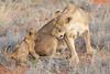 Lion_Cubs_Tswalu_2016_0041