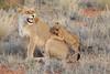 Lion_Cubs_Tswalu_2016_0032
