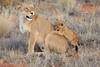 Lion_Cubs_Tswalu_2016_0035