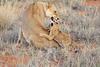 Lion_Cubs_Tswalu_2016_0038