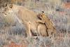 Lion_Cubs_Tswalu_2016_0026