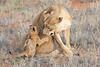 Lion_Cubs_Tswalu_2016_0040