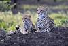 Cheetah_Family_Phinda_2016_0107