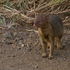 Mongoose, not sure what kind (dwarf ?)