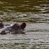 Our first Hippo sighting, from a bridge near Skukuza