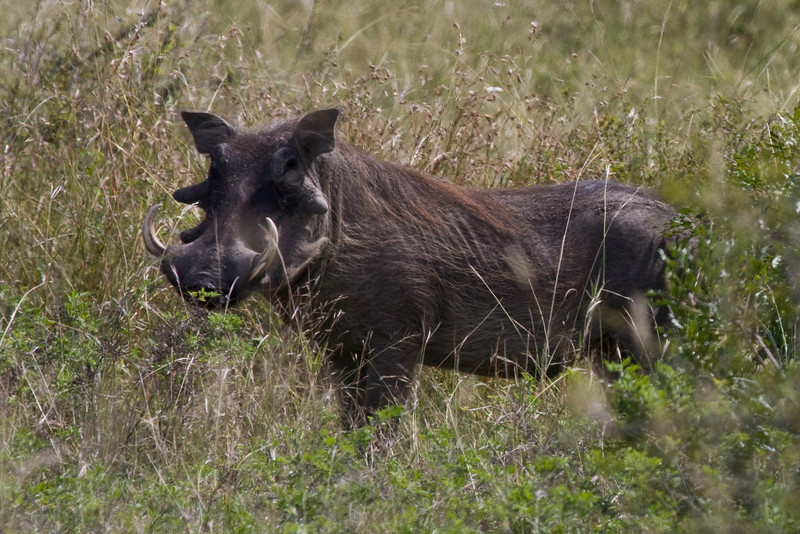 Warthog, he was in the field with the zebras, impalas, wildebeest; so much going on here !