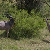 Male and Female Kudu