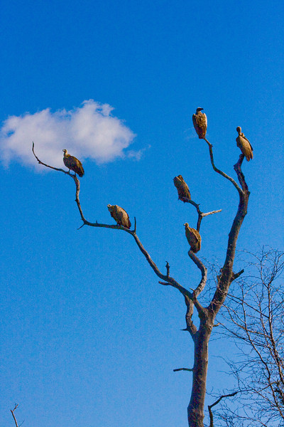 While we were having lunch at Pretoriuskop, some people told us that 3 lions had brought down a giraffe in the night right off the road.  They said they would be eating all day and we should still be able to see them.  When we saw these vultures, we knew we had arrived to the kill.  That and the dozen or so vehicules blocking the road (really the only time there was a major jam up).