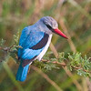 Woodland Kingfisher at Lower Sabie