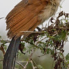 Burchell's Coucal ?