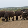 There were tons of them, in front and some in back of our car.  It is a little nerve-wracking not having an out, as buffalo can get aggressive, especially with babies in the herd.