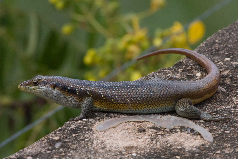 Some sort of lizard overlooking the dam at Berg-en-Dal.  Anyone know what it is ? Common striped  ?