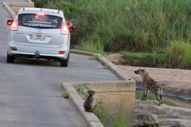 This baboon got designated to keep a good watch on the hyena.  The others are on a rock on the other side of the bridge.