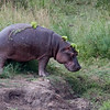 Hippo at Orpen Dam