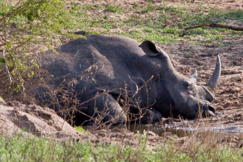 White Rhino taking a siesta